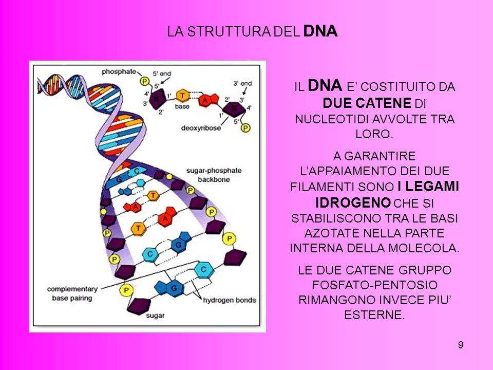 LA STRUTTURA DEL DNA IL DNA E' COSTITUITO DA DUE CATENE DI NUCLEOTIDI AVVOLTE TRA LORO.