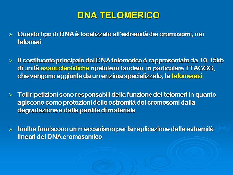 DNA TELOMERICO Questo tipo di DNA è localizzato all'estremità dei cromosomi, nei telomeri.