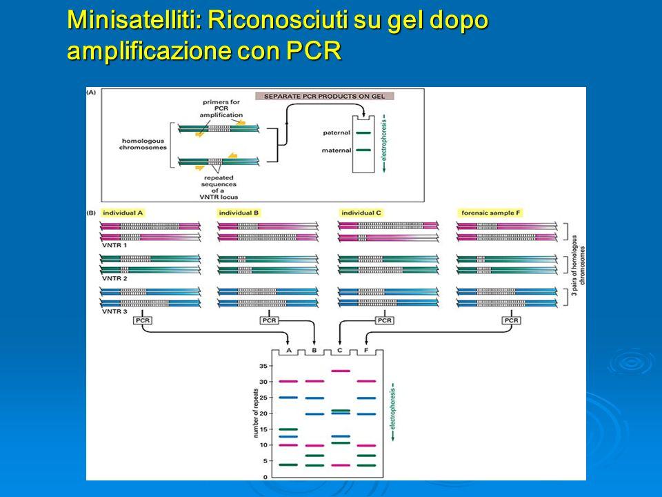 Minisatelliti: Riconosciuti su gel dopo amplificazione con PCR