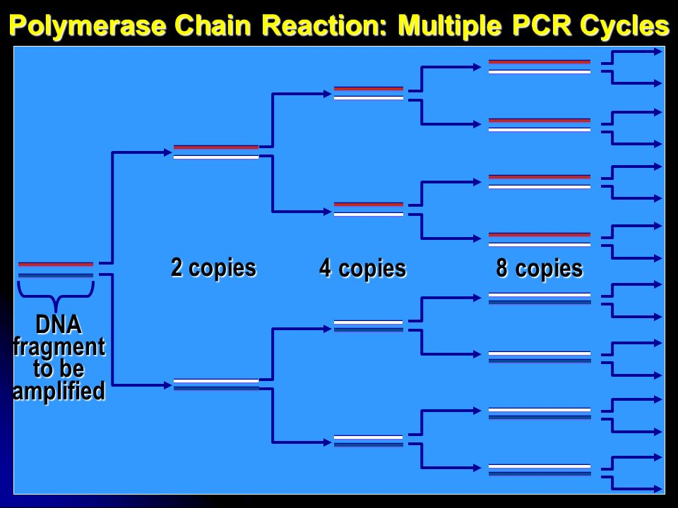 Polymerase Chain Reaction: Multiple PCR Cycles