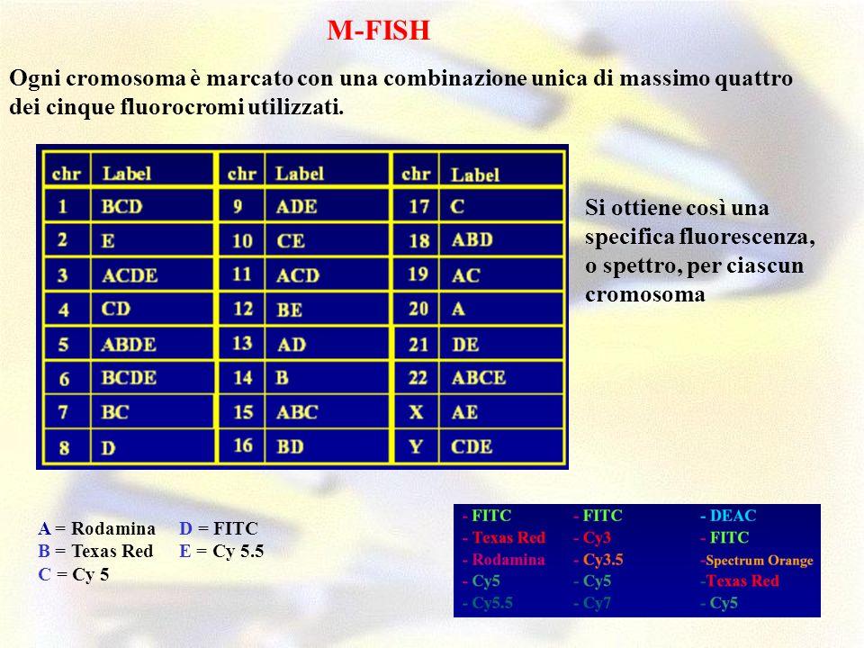 M-FISH Ogni cromosoma è marcato con una combinazione unica di massimo quattro dei cinque fluorocromi utilizzati.