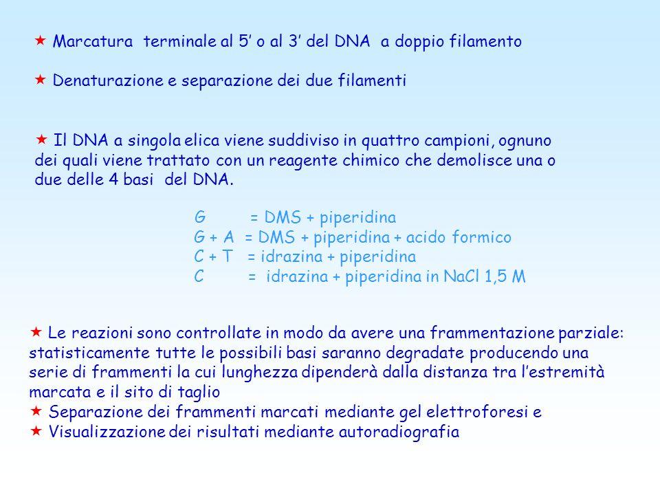 Marcatura terminale al 5' o al 3' del DNA a doppio filamento