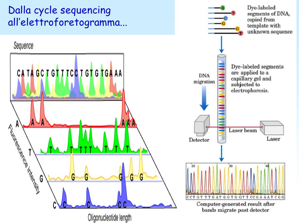 Dalla cycle sequencing