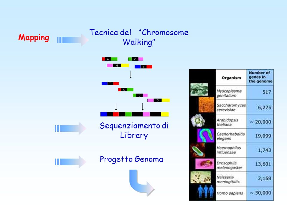 Tecnica del Chromosome Walking Mapping