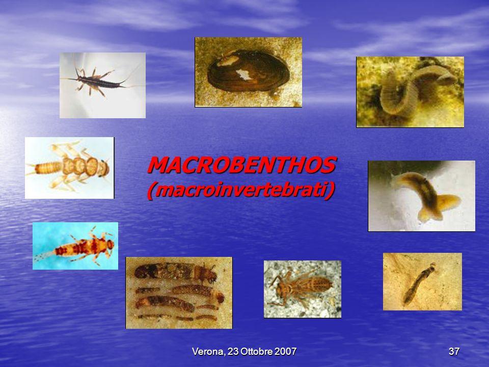 MACROBENTHOS (macroinvertebrati)