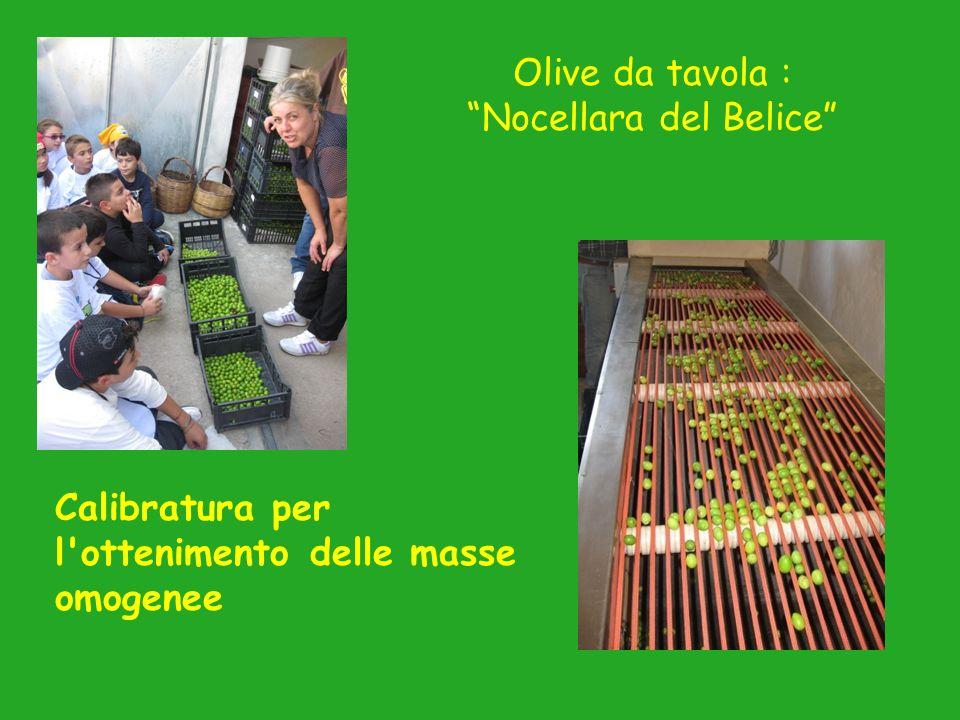 Olive da tavola : Nocellara del Belice