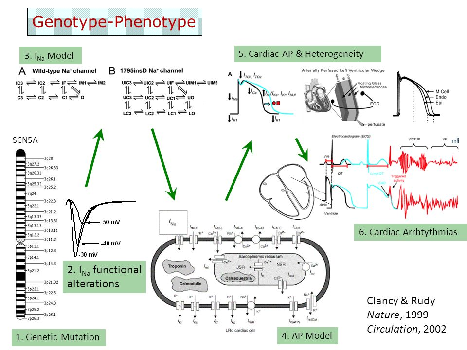 Genotype-Phenotype 2. INa functional alterations Clancy & Rudy