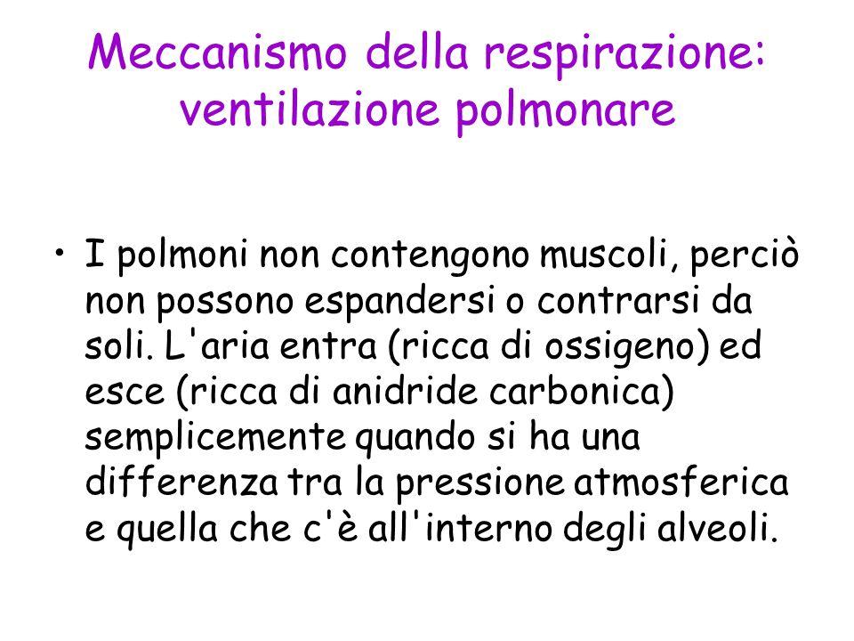 Meccanismo della respirazione: ventilazione polmonare