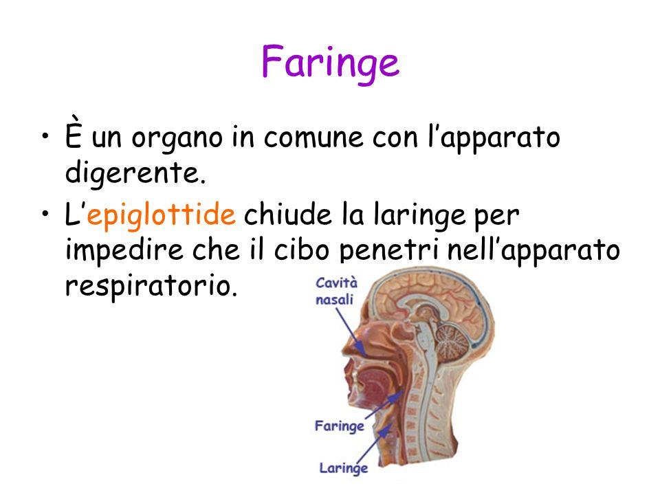 Faringe È un organo in comune con l'apparato digerente.