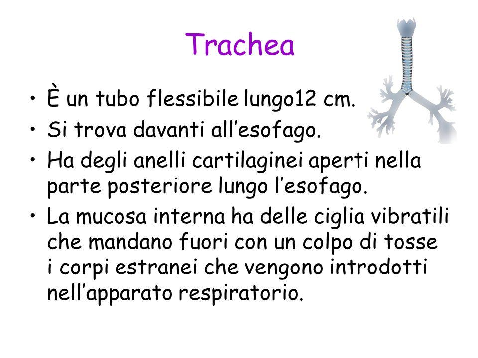 Trachea È un tubo flessibile lungo12 cm. Si trova davanti all'esofago.