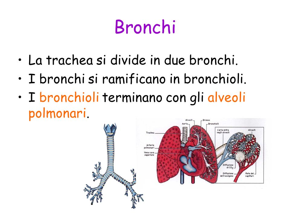 Bronchi La trachea si divide in due bronchi.
