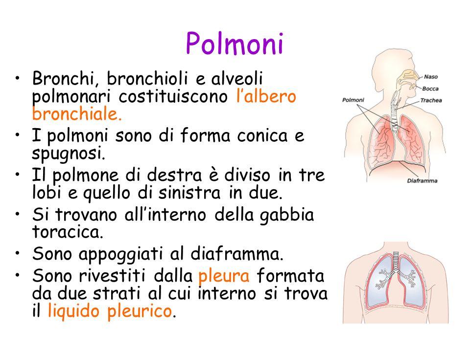 Polmoni Bronchi, bronchioli e alveoli polmonari costituiscono l'albero bronchiale. I polmoni sono di forma conica e spugnosi.