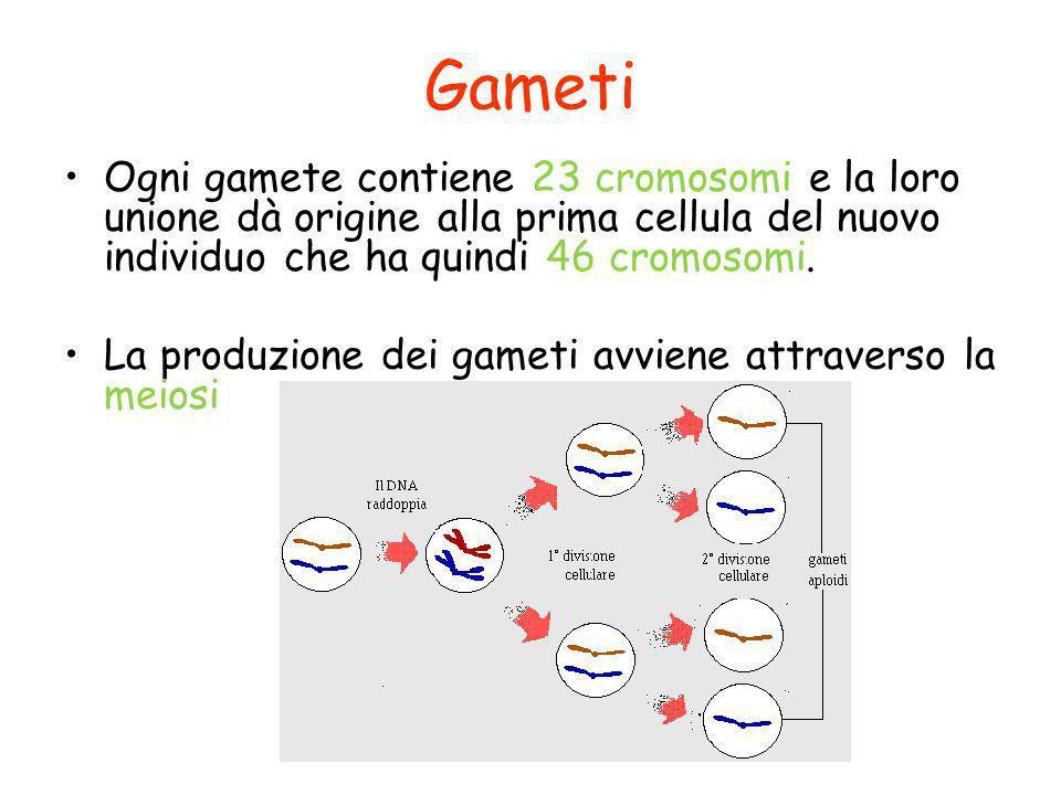 Gameti Ogni gamete contiene 23 cromosomi e la loro unione dà origine alla prima cellula del nuovo individuo che ha quindi 46 cromosomi.