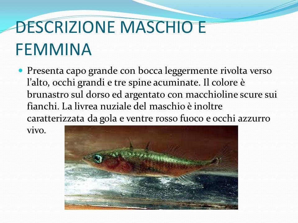 DESCRIZIONE MASCHIO E FEMMINA