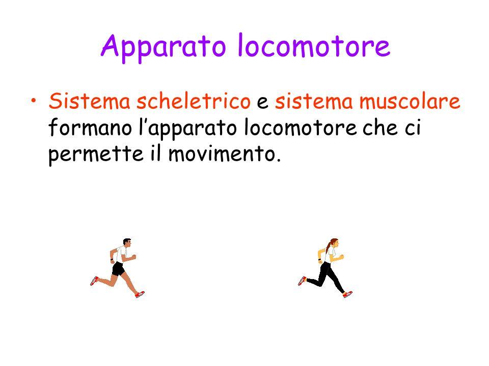 Apparato locomotore Sistema scheletrico e sistema muscolare formano l'apparato locomotore che ci permette il movimento.