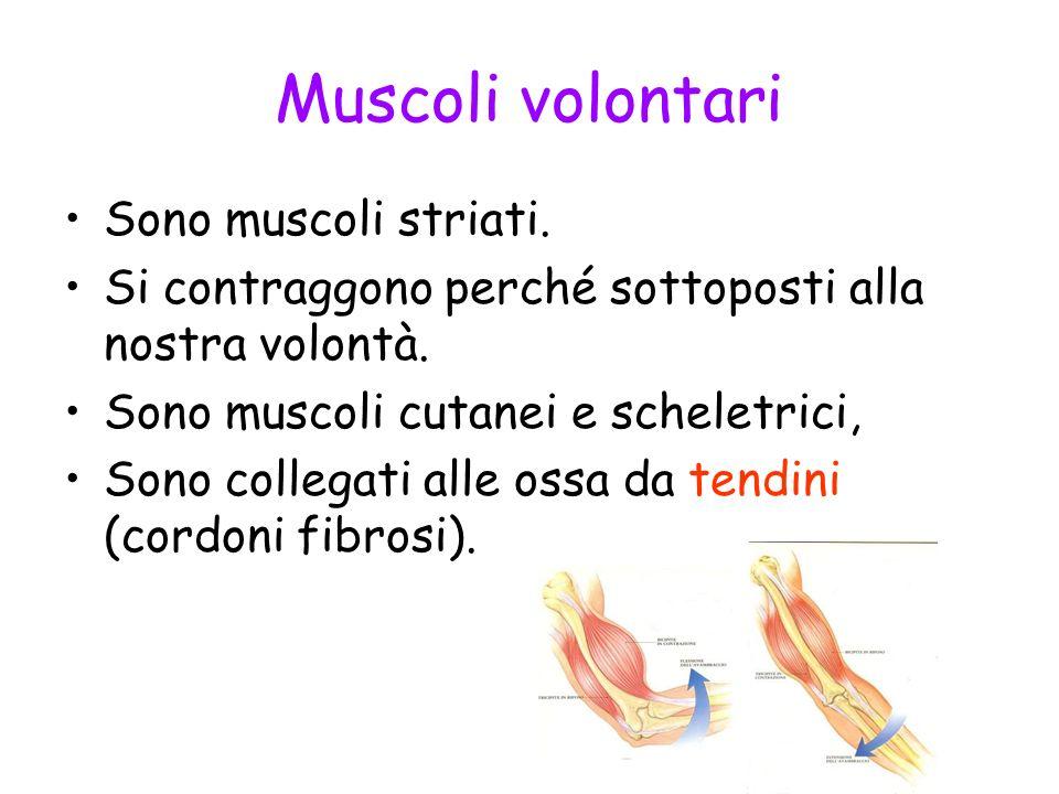 Muscoli volontari Sono muscoli striati.