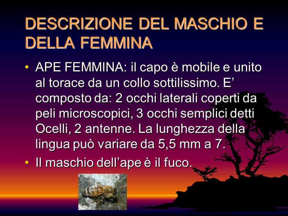 DESCRIZIONE DEL MASCHIO E DELLA FEMMINA