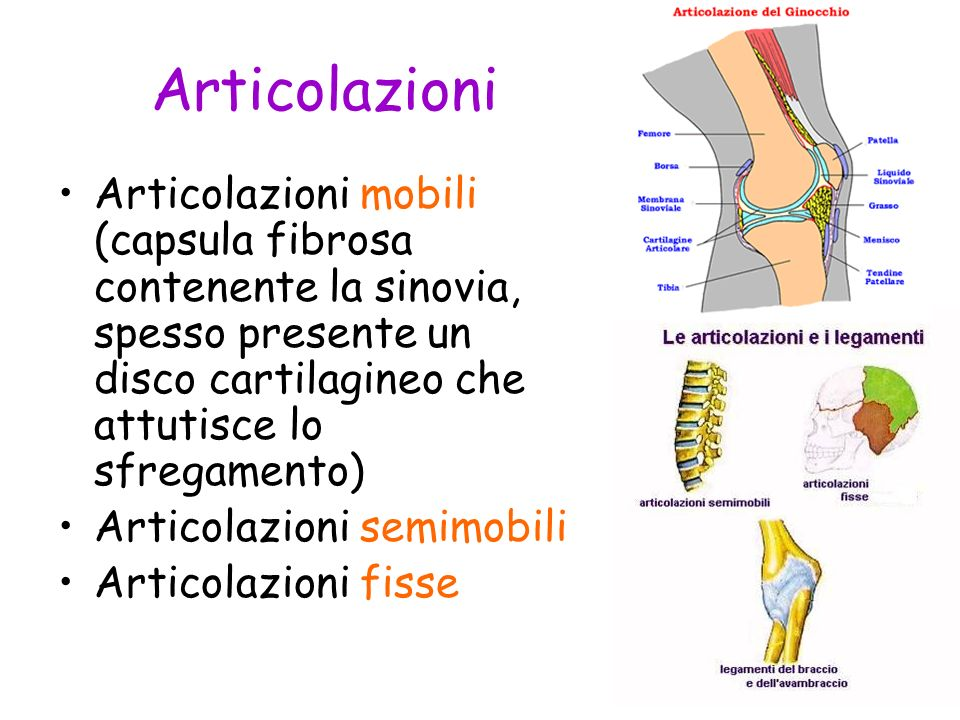 Articolazioni Articolazioni mobili (capsula fibrosa contenente la sinovia, spesso presente un disco cartilagineo che attutisce lo sfregamento)