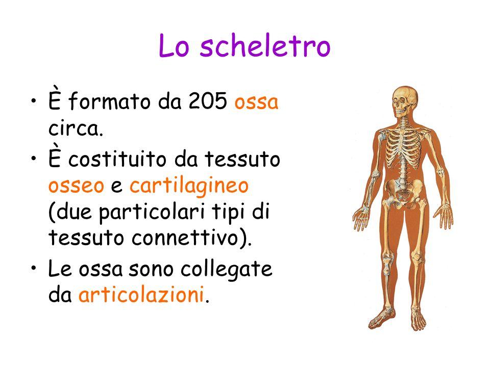Lo scheletro È formato da 205 ossa circa.