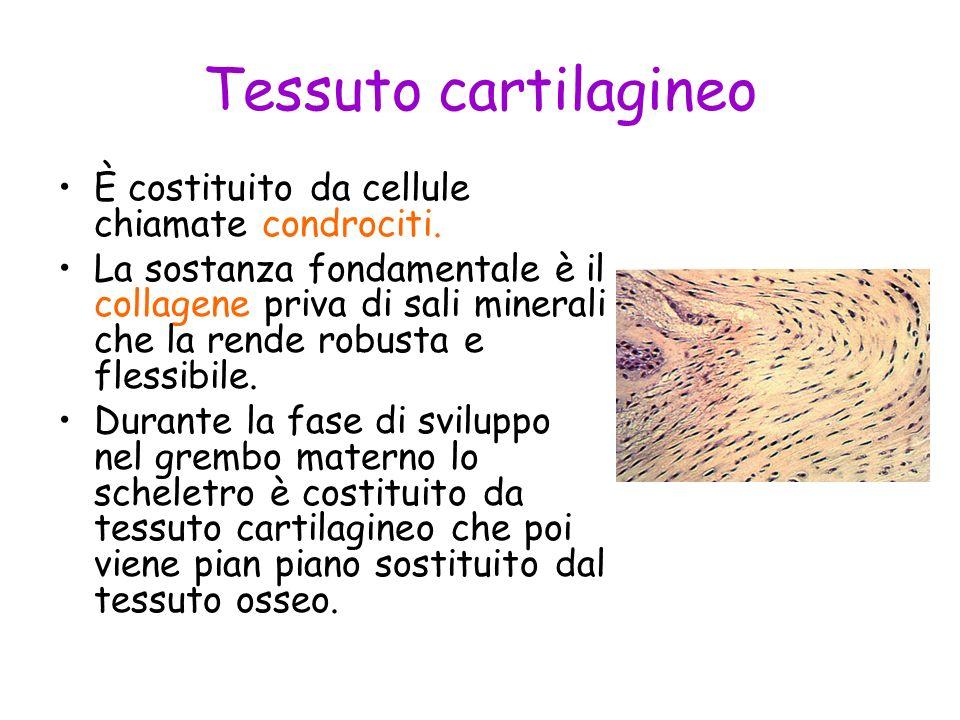 Tessuto cartilagineo È costituito da cellule chiamate condrociti.