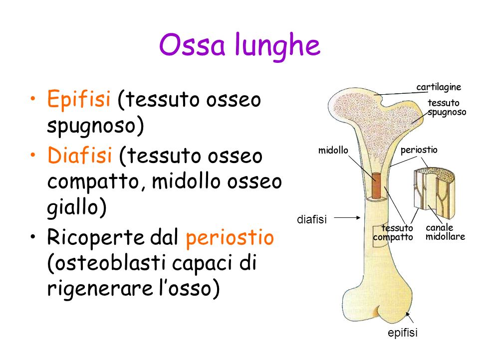 Ossa lunghe Epifisi (tessuto osseo spugnoso)