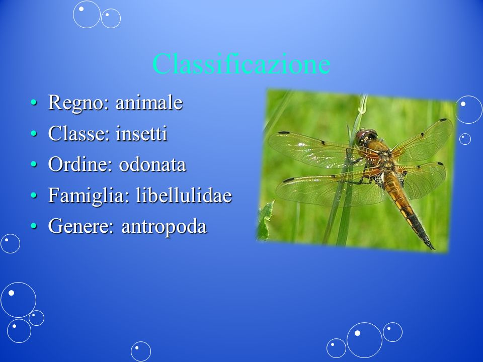 Classificazione Regno: animale Classe: insetti Ordine: odonata