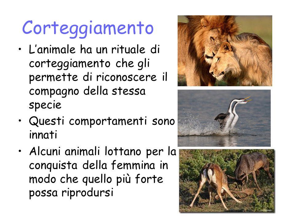 Corteggiamento L'animale ha un rituale di corteggiamento che gli permette di riconoscere il compagno della stessa specie.