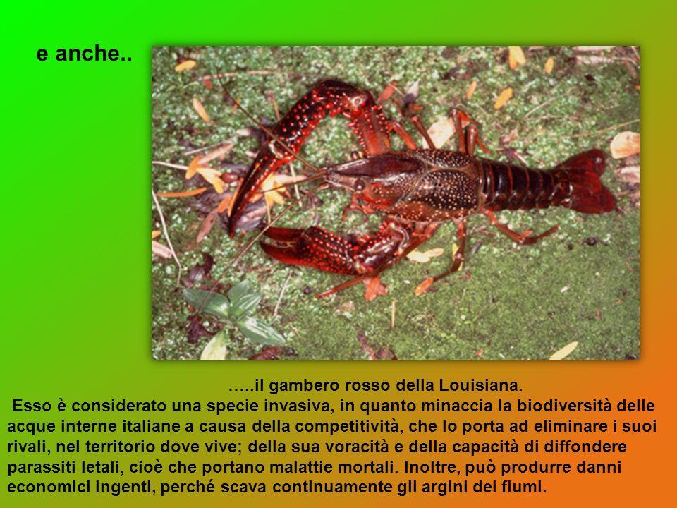 e anche.. …..il gambero rosso della Louisiana.