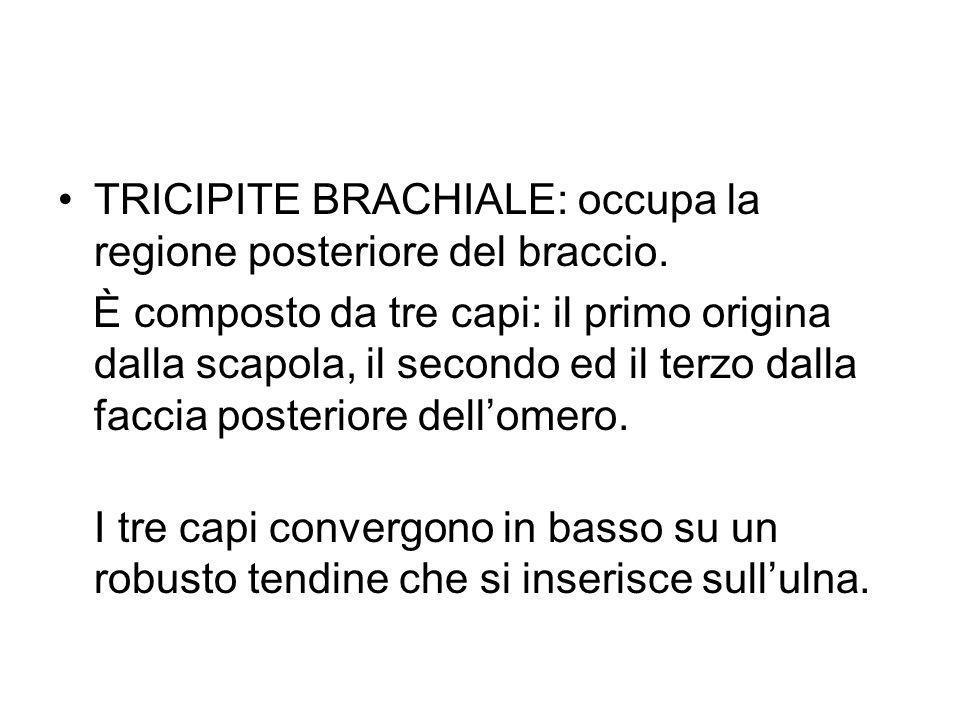 TRICIPITE BRACHIALE: occupa la regione posteriore del braccio.