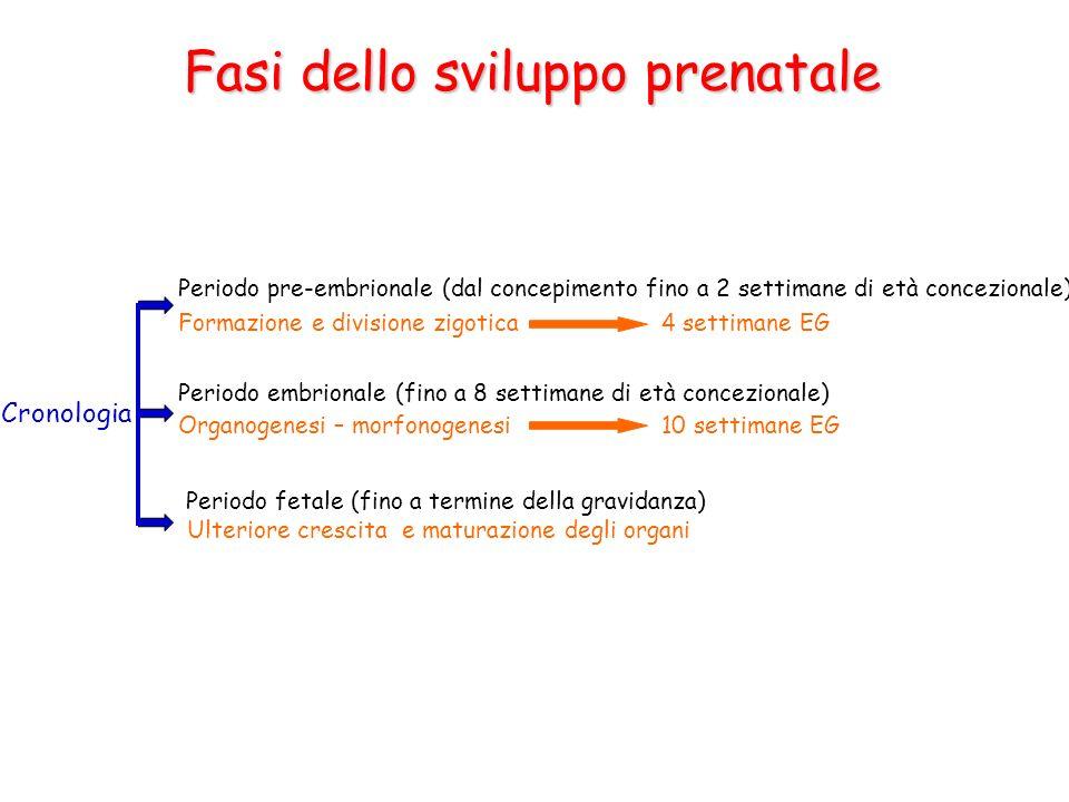 Fasi dello sviluppo prenatale