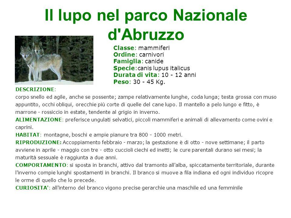 Il lupo nel parco Nazionale d Abruzzo