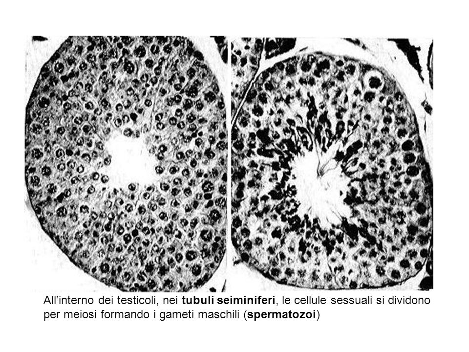 All'interno dei testicoli, nei tubuli seiminiferi, le cellule sessuali si dividono per meiosi formando i gameti maschili (spermatozoi)