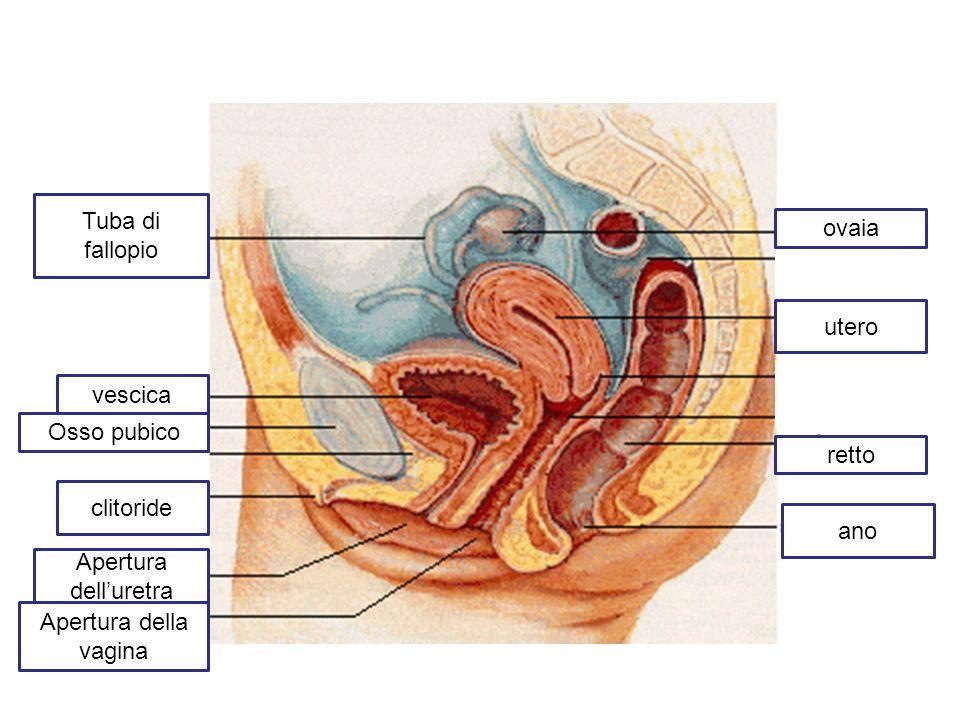Tuba di fallopio ovaia. utero. vescica. Osso pubico. retto. clitoride. ano. Apertura dell'uretra.