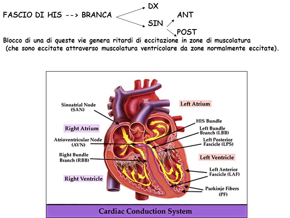 FASCIO DI HIS --> BRANCA ANT SIN POST