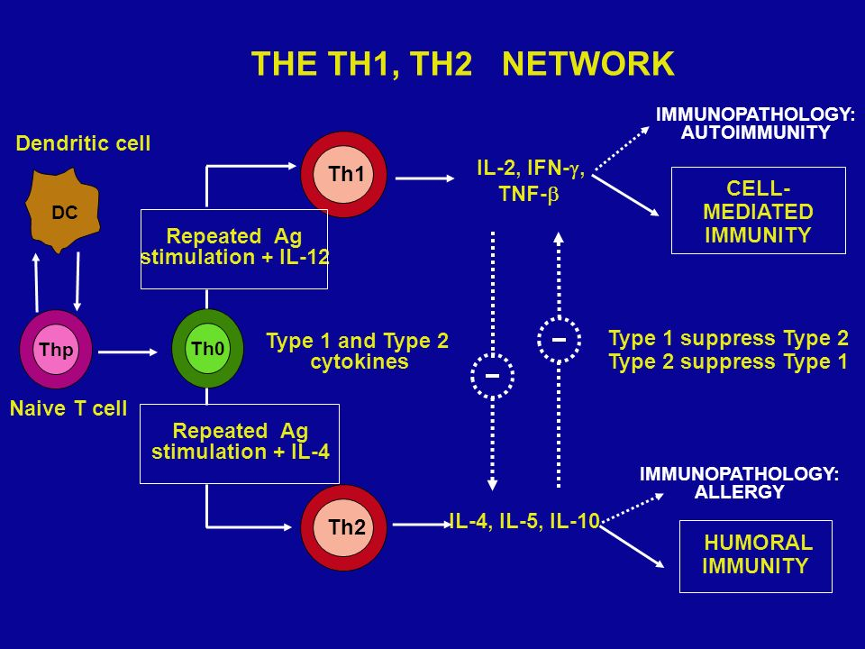 THE TH1, TH2 NETWORK Dendritic cell IL-2, IFN-, TNF- CELL-MEDIATED