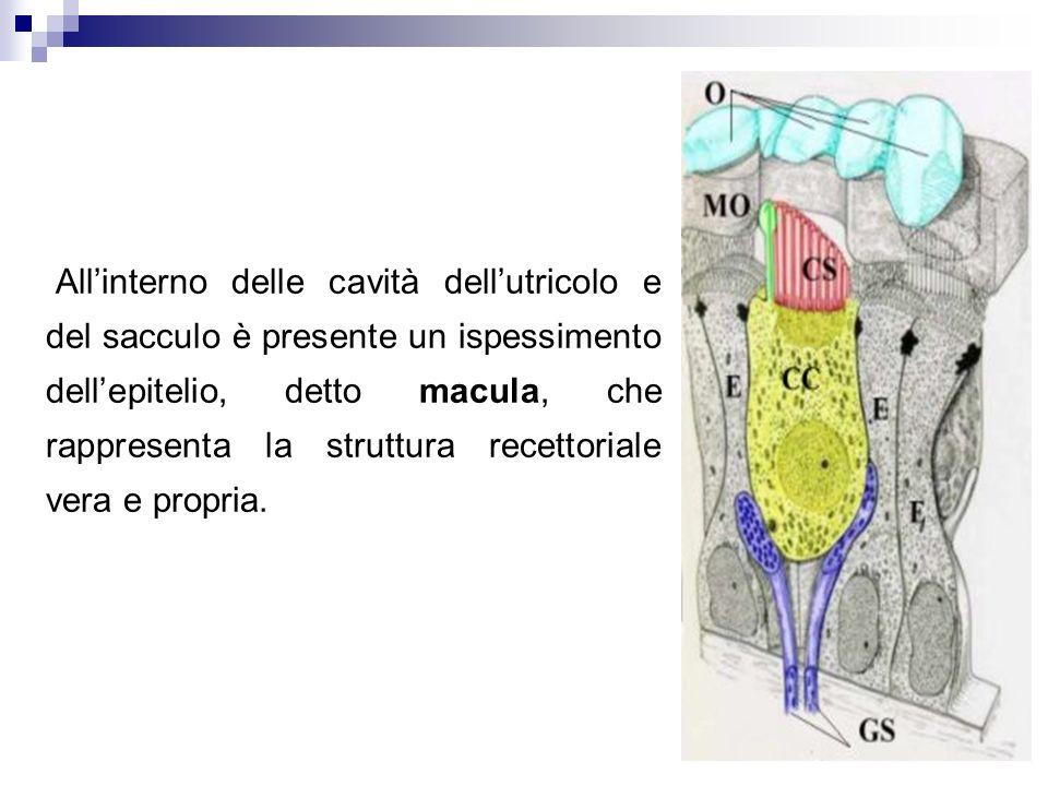 All'interno delle cavità dell'utricolo e del sacculo è presente un ispessimento dell'epitelio, detto macula, che rappresenta la struttura recettoriale vera e propria.