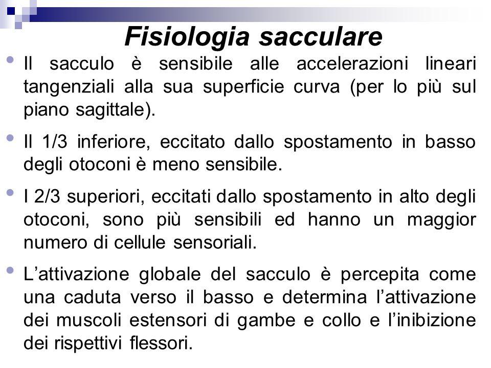 Fisiologia sacculare Il sacculo è sensibile alle accelerazioni lineari tangenziali alla sua superficie curva (per lo più sul piano sagittale).