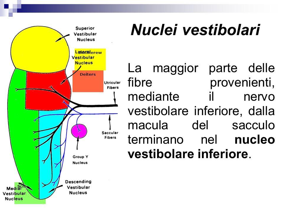 Nuclei vestibolari Bechterew.