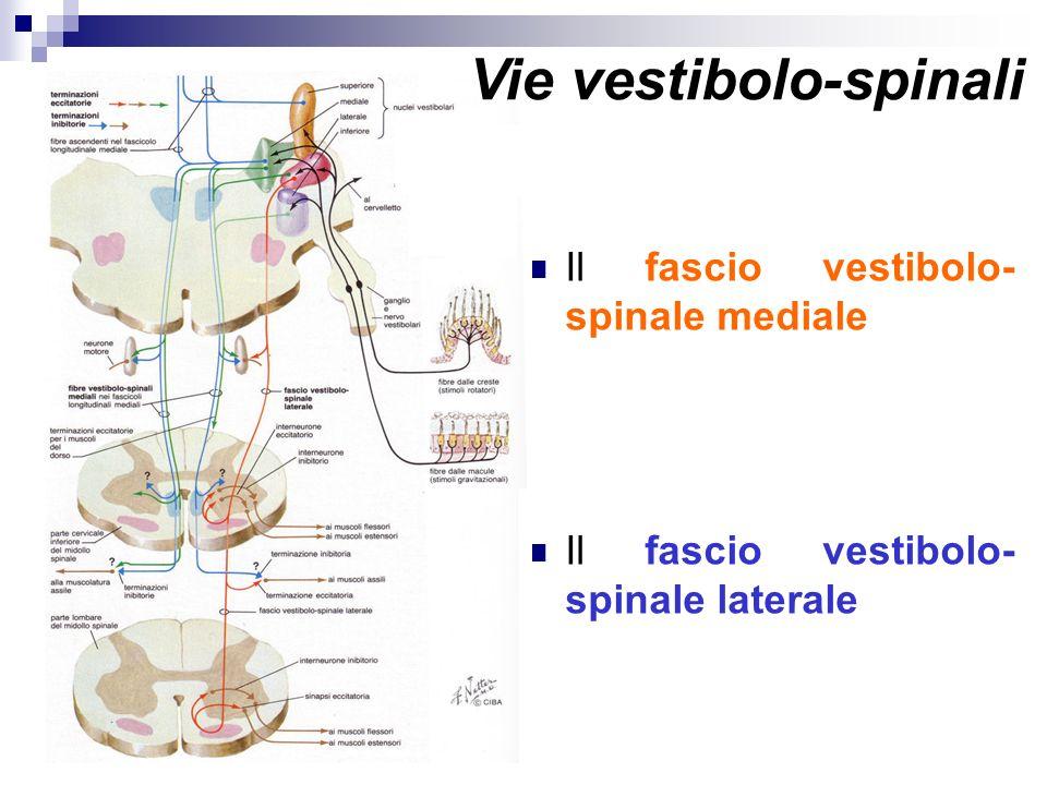 Vie vestibolo-spinali