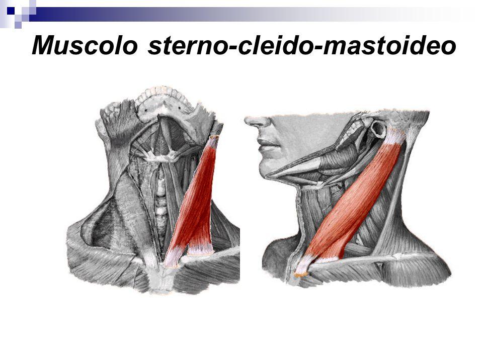 Muscolo sterno-cleido-mastoideo