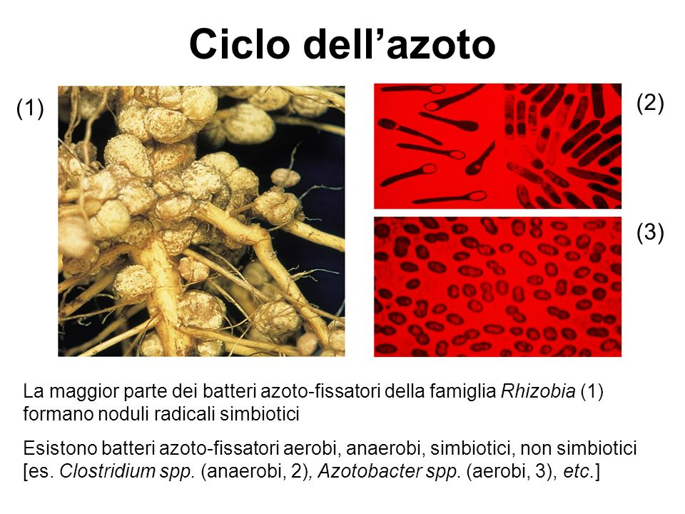 Ciclo dell'azoto (2) (1) (3)