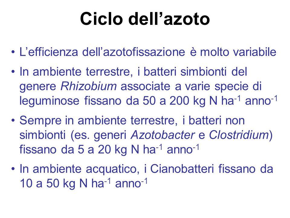 Ciclo dell'azoto L'efficienza dell'azotofissazione è molto variabile