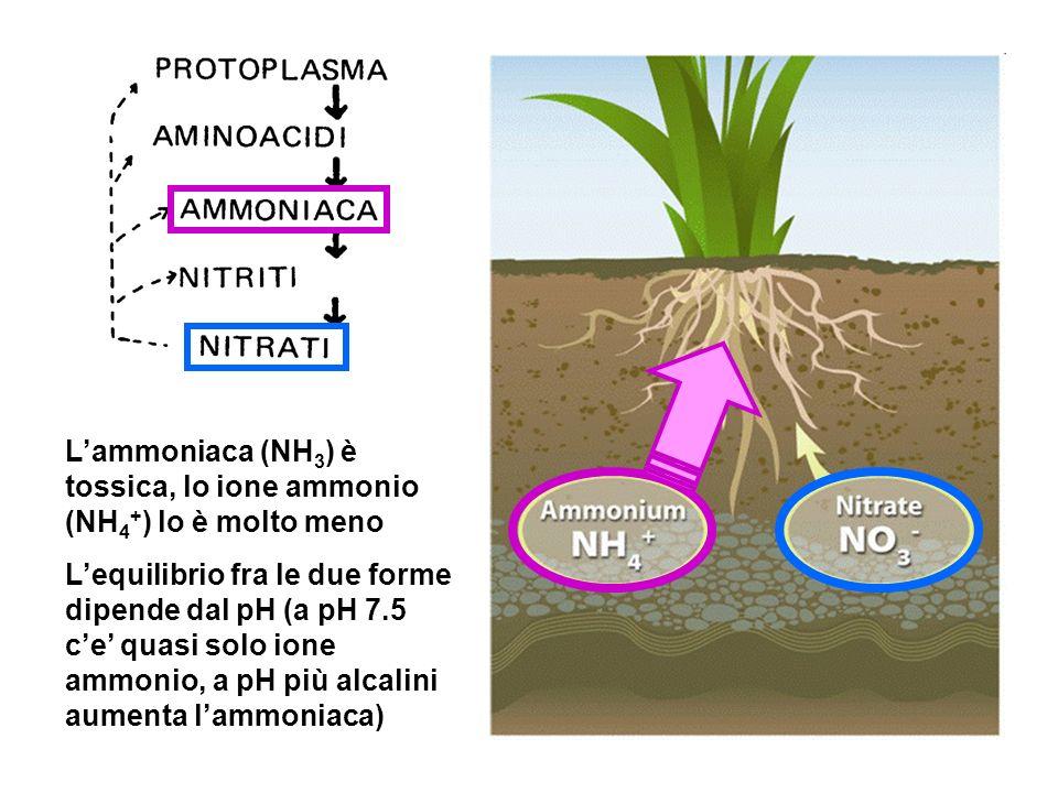 L'ammoniaca (NH3) è tossica, lo ione ammonio (NH4+) lo è molto meno