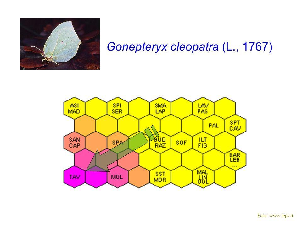 Gonepteryx cleopatra (L., 1767)