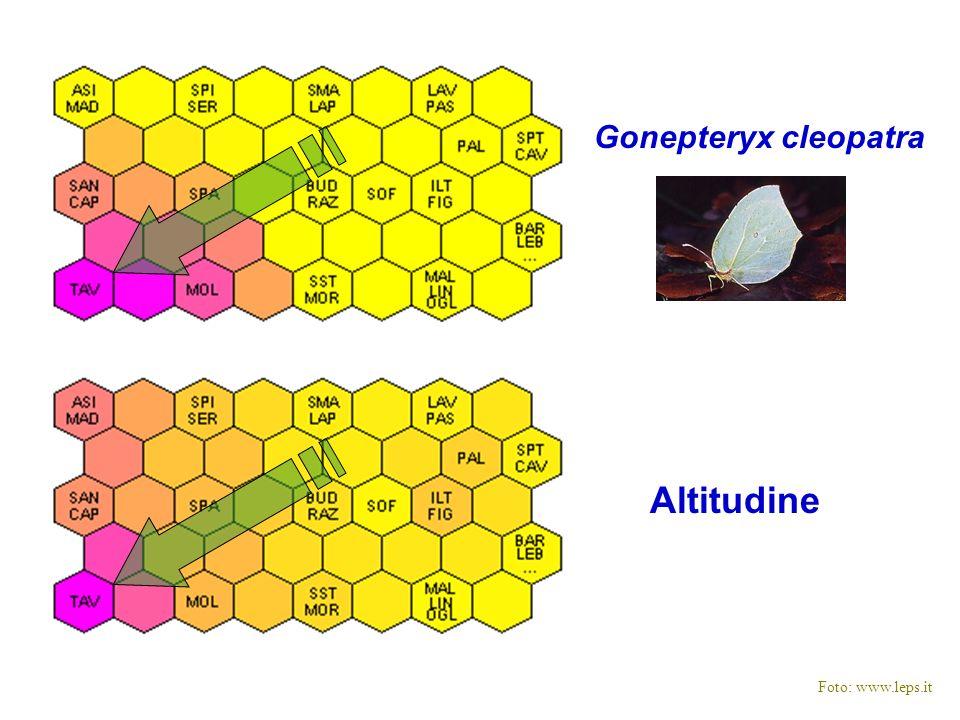 Gonepteryx cleopatra Altitudine Foto: www.leps.it