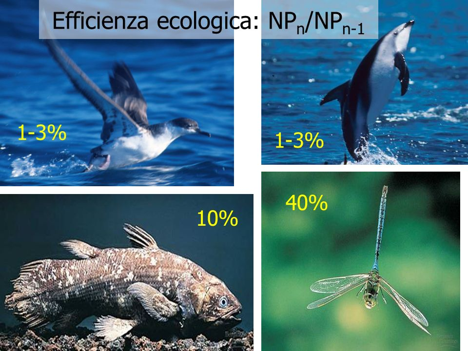 Efficienza ecologica: NPn/NPn-1