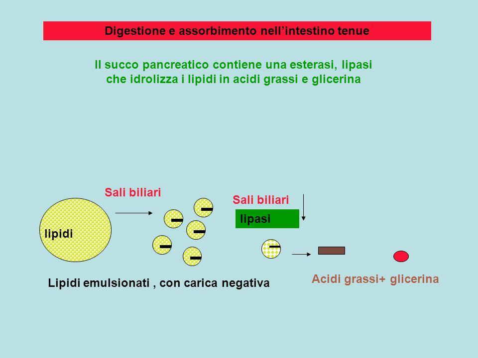 Digestione e assorbimento nell'intestino tenue