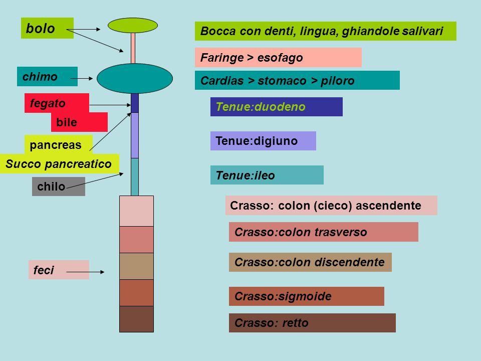bolo Bocca con denti, lingua, ghiandole salivari Faringe > esofago