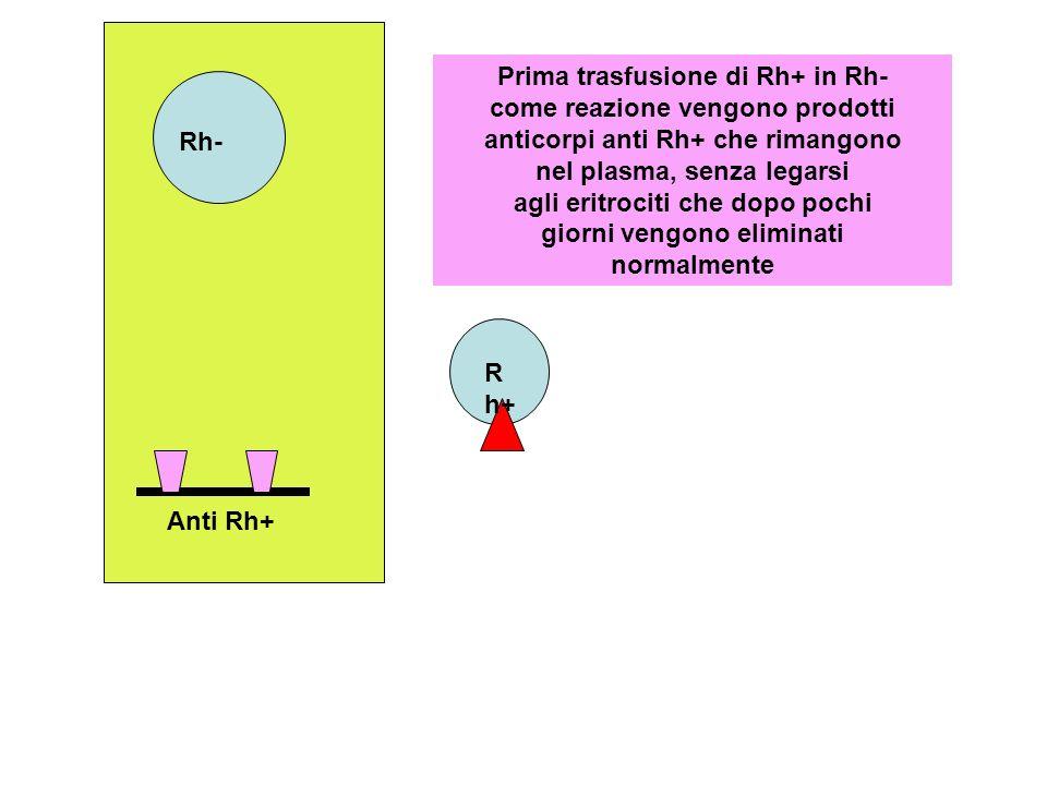 Prima trasfusione di Rh+ in Rh- come reazione vengono prodotti anticorpi anti Rh+ che rimangono nel plasma, senza legarsi agli eritrociti che dopo pochi giorni vengono eliminati normalmente