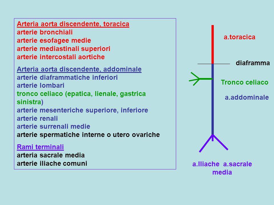 a.Iliache a.sacrale media
